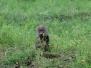 Baboon, Olive, Kenya, Nakuru, jpg