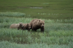 Coastal Brown Bear sow and two cubs walking in grass at McNeil River Game Sanctuary, Kamishak Bay, Cook Inlet, Alaska