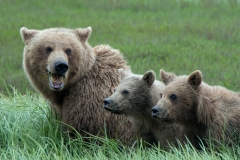 Coastal Brown Bear sow and two cubs feeding on grass at McNeil River Game Sanctuary, Kamishak Bay, Cook Inlet, Alaska