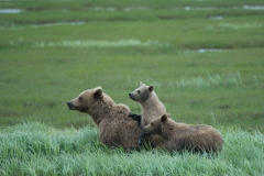 Coastal Brown Bear sow and two cubs in grass at McNeil River Game Sanctuary, Kamishak Bay, Cook Inlet, Alaska