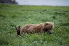 Coastal Brown Bear sow with spring cub in grass at McNeil River Game Sanctuary, Kamishak Bay, Cook Inlet, Alaska.