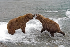 Coastal Brown Bears fighting for fishing spot at McNeil Falls, McNeil River Game Sanctuary, Alaska.