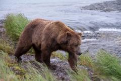 Coastal Brown Bear boar at McNeil Falls, McNeil River Game Sanctuary, Alaska.