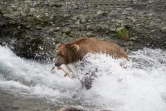Coastal Brown Bear with salmon at McNeil Falls, McNeil River Game Sanctuary, Alaska.