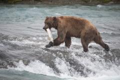 Coastal Brown Bear with large salmon at McNeil Falls, McNeil River Game Sanctuary, Alaska.