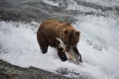 Coastal Brown Bear with large chum salmon at McNeil Falls, McNeil River Game Sanctuary, Alaska.