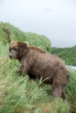 Coastal Brown Bear at McNeil Falls, McNeil River Game Sanctuary, Alaska.