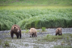 Coastal Brown Bear sow and two cub feeding on immature sedge McNeil River Game Sanctuary, Alaska.