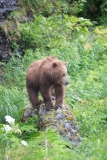 Coastal Brown Bear cub perched on a stone at McNeil River Game Sanctuary, Alaska.