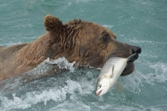 Coastal Brown Bear swimming with chum salmon in its mouth at McNeil Falls, McNeil River Game Sanctuary, Alaska.