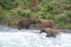 Coastal Brown Bear boars sparring for fishing spot for chum salmon at McNeil Falls, McNeil River Game Sanctuary, Alaska.
