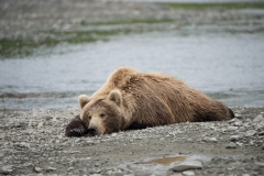 Coastal Brown Bear sleeping while waiting for chum salmon at 'The Ripples', Mikfik River, McNeil River Game Sanctuary, Alaska