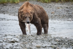 Coastal Brown Bears fishing with anadromous Dolly Varden trout at 'The Ripples', Mikfik River, McNeil River Game Sanctuary, Alaska