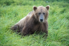 Coastal Brown Bear sitting in green grass at 'The Ripples', Mikfik River, McNeil River Game Sanctuary, Alaska