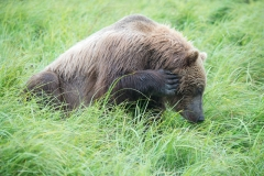 Coastal Brown Bears scratching head at 'The Ripples', Mikfik River, McNeil River Game Sanctuary, Alaska