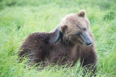 Coastal Brown Bear scratching ear at 'The Ripples', Mikfik River, McNeil River Game Sanctuary, Alaska