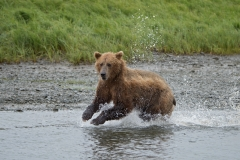 Coastal Brown Bear running and fishing for salmon at 'The Ripples', Mikfik River, McNeil River Game Sanctuary, Alaska