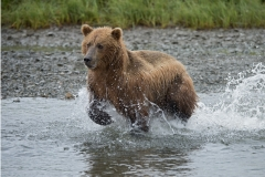 Coastal Brown Bears running through the water while fishing for salmon at 'The Ripples', Mikfik River, McNeil River Game Sanctuary, Alaska