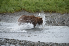 Coastal Brown Bears fishing for chum salmon at Mikfik River, McNeil River Game Sanctuary, Alaska