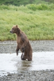 Coastal Brown Bear standing and fishing for salmon at 'The Ripples', Mikfik River, McNeil River Game Sanctuary, Alaska