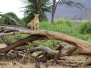 Lions, Kenya, Samburu