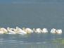 Pelicans, Great White, Kenya, Nakuru
