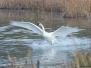 Swan, Trumpeter, Alaska, Potter's Marsh
