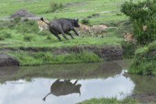 "alt=""Cape buffalo charging a lion family at Masai Mara National Reserve, Kenya, Africa."""